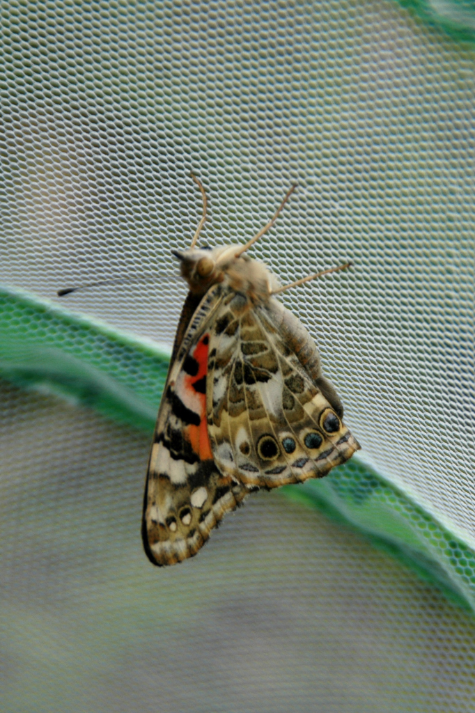 Another butterfly poses before departure.