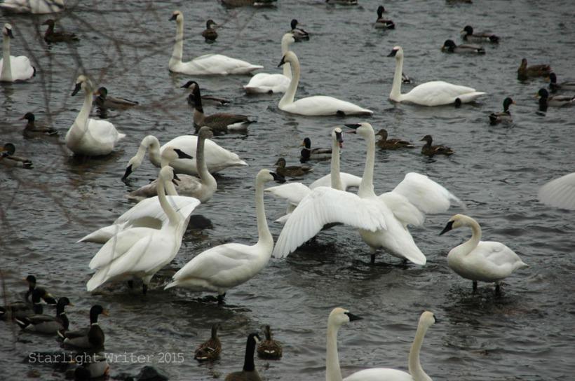 gloriousSwans 04081