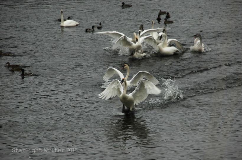 gloriousSwans 05087