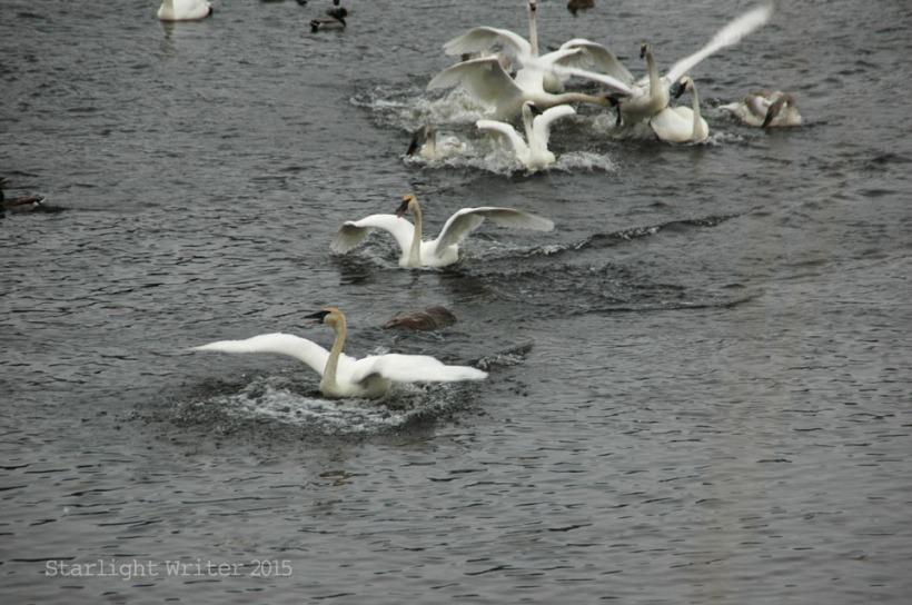 gloriousSwans 05188