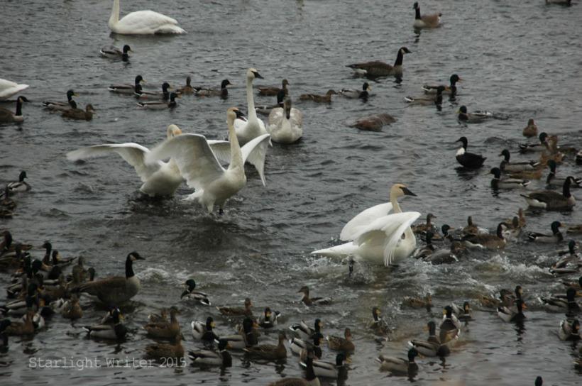 gloriousSwans 06389
