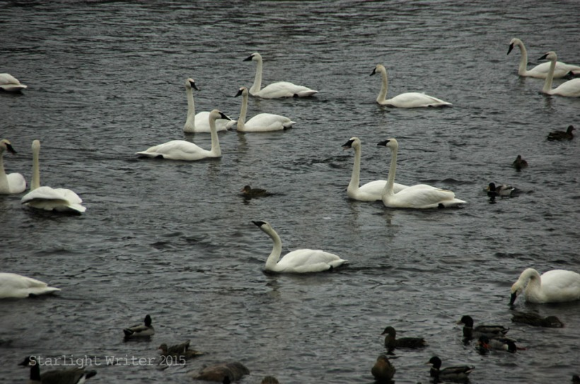 gloriousSwans 08791