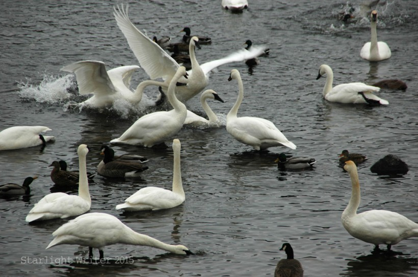 gloriousSwans 13398