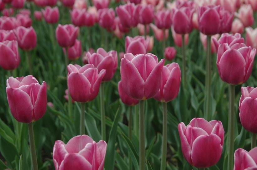 tulipsgrandmashere101X